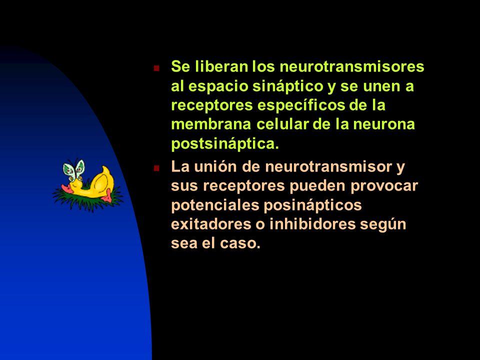 Se liberan los neurotransmisores al espacio sináptico y se unen a receptores específicos de la membrana celular de la neurona postsináptica. La unión