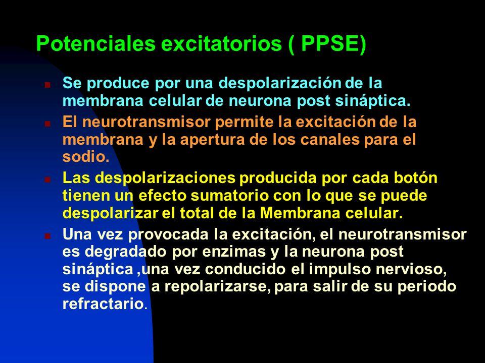Potenciales excitatorios ( PPSE) Se produce por una despolarización de la membrana celular de neurona post sináptica. El neurotransmisor permite la ex