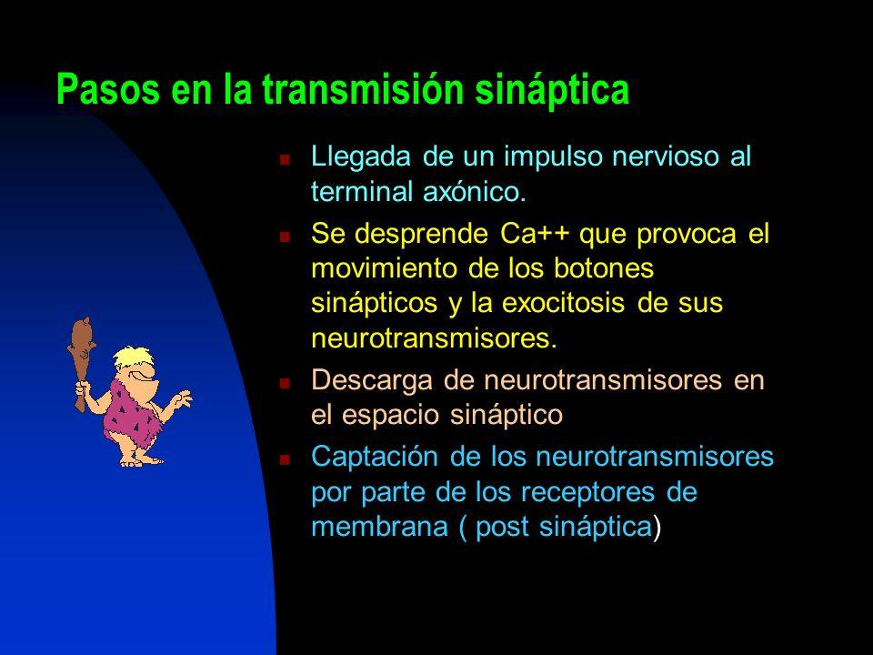 Pasos en la transmisión sináptica Llegada de un impulso nervioso al terminal axónico. Se desprende Ca++ que provoca el movimiento de los botones sináp