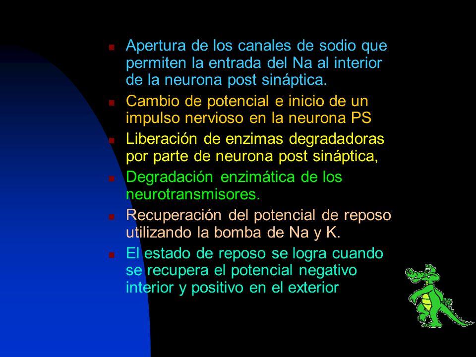Apertura de los canales de sodio que permiten la entrada del Na al interior de la neurona post sináptica. Cambio de potencial e inicio de un impulso n