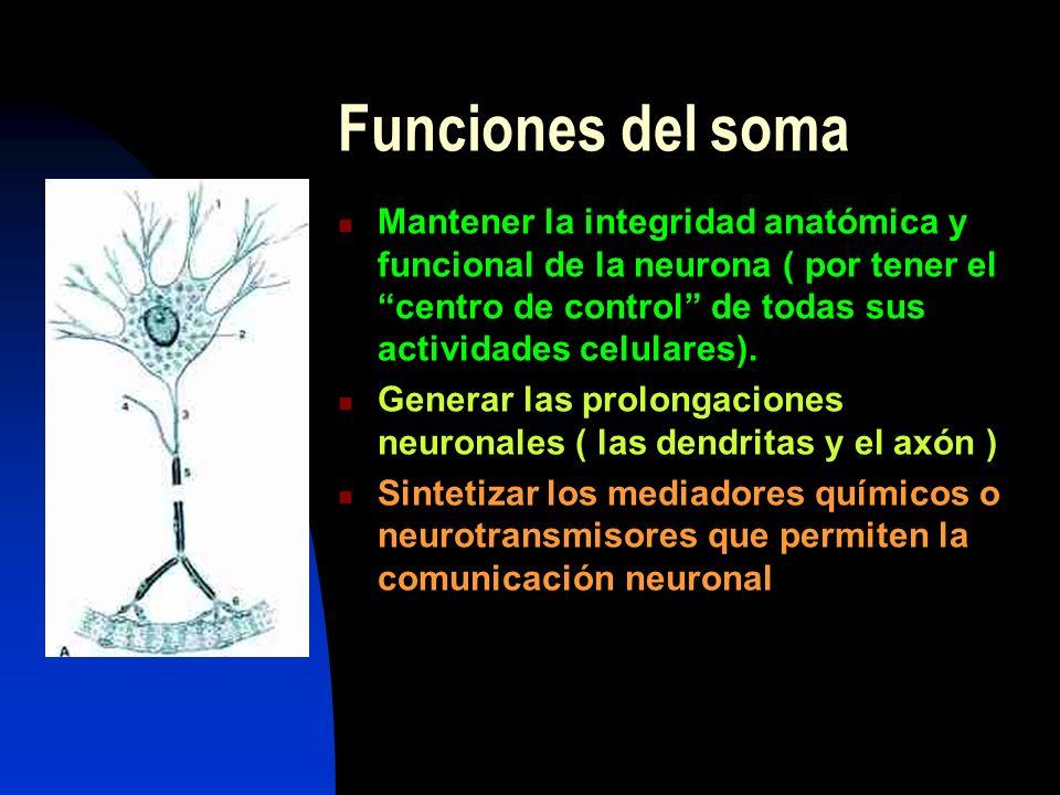 Funciones del soma Mantener la integridad anatómica y funcional de la neurona ( por tener el centro de control de todas sus actividades celulares). Ge