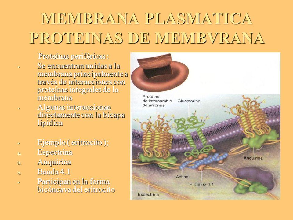 MEMBRANA PLASMATICA PROTEINAS DE MEMBVRANA Proteínas periféricas : Proteínas periféricas : Se encuentran unidas a la membrana principalmente a través