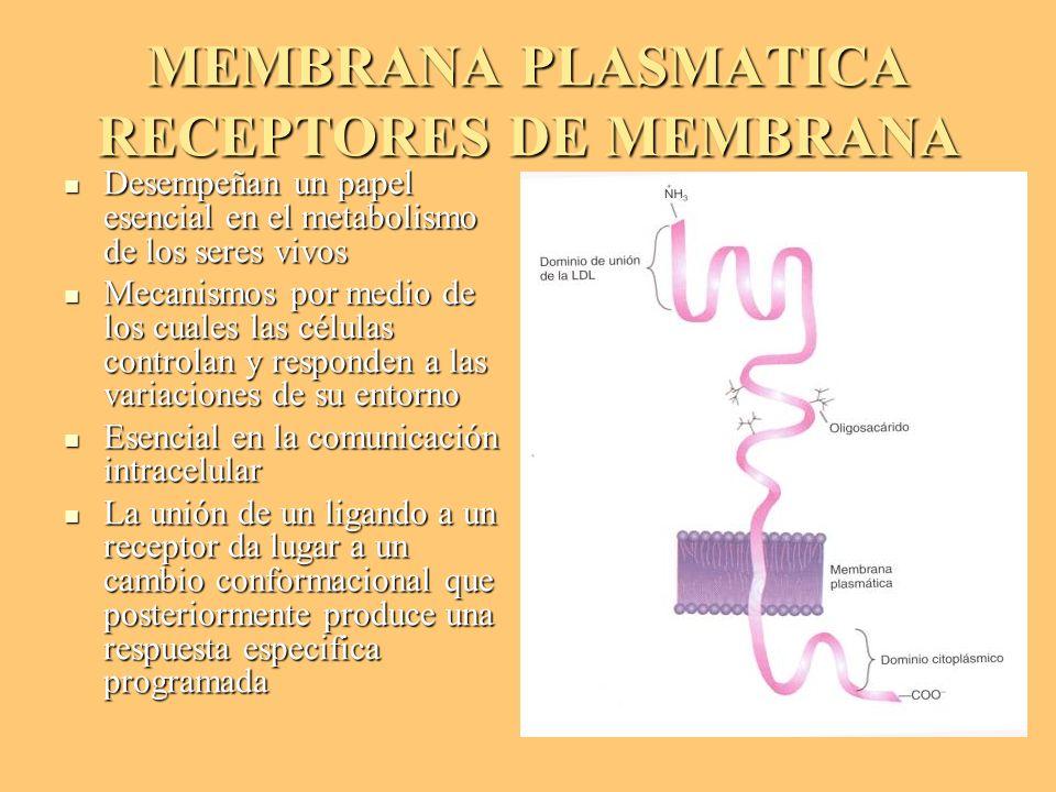 MEMBRANA PLASMATICA RECEPTORES DE MEMBRANA Desempeñan un papel esencial en el metabolismo de los seres vivos Desempeñan un papel esencial en el metabo