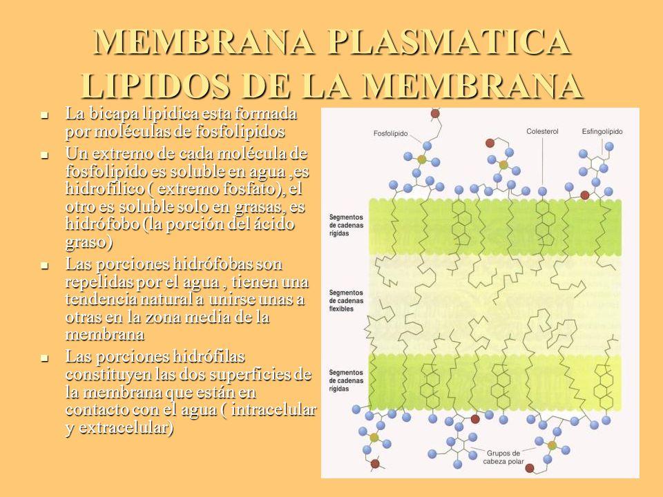 MEMBRANA PLASMATICA LIPIDOS DE LA MEMBRANA La bicapa lipidica esta formada por moléculas de fosfolipidos La bicapa lipidica esta formada por moléculas