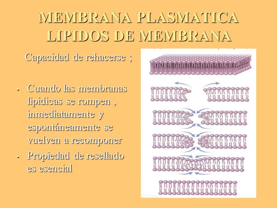 MEMBRANA PLASMATICA LIPIDOS DE MEMBRANA Capacidad de rehacerse ; Capacidad de rehacerse ; Cuando las membranas lipidicas se rompen, inmediatamente y e