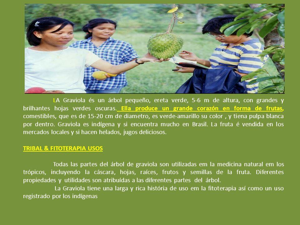 LA Graviola és un árbol pequeño, ereta verde, 5-6 m de altura, con grandes y brilhantes hojas verdes oscuras.