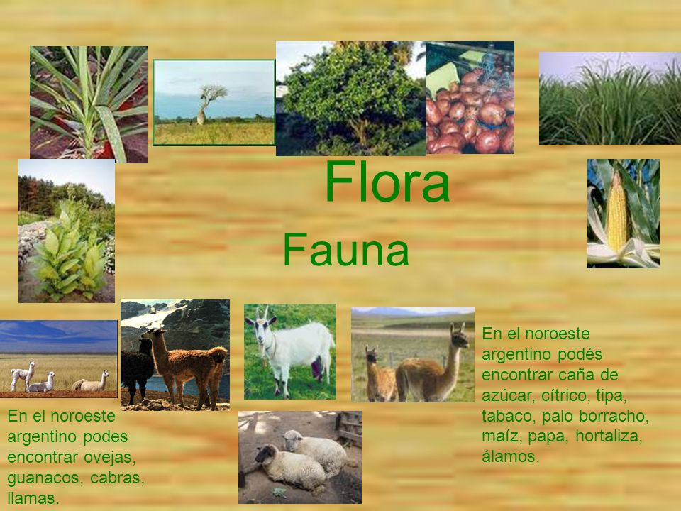 Flora En el noroeste argentino podés encontrar caña de azúcar, cítrico, tipa, tabaco, palo borracho, maíz, papa, hortaliza, álamos. En el noroeste arg
