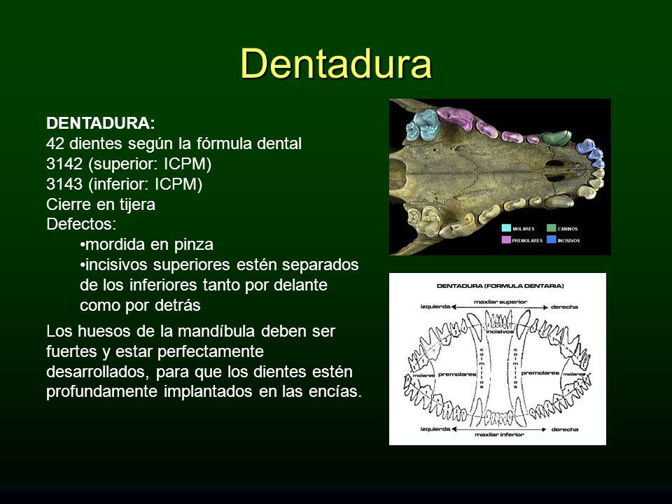 DENTADURA: 42 dientes según la fórmula dental 3142 (superior: ICPM) 3143 (inferior: ICPM) Cierre en tijera Defectos: mordida en pinza incisivos superi