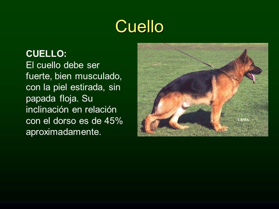 CUELLO: El cuello debe ser fuerte, bien musculado, con la piel estirada, sin papada floja. Su inclinación en relación con el dorso es de 45% aproximad
