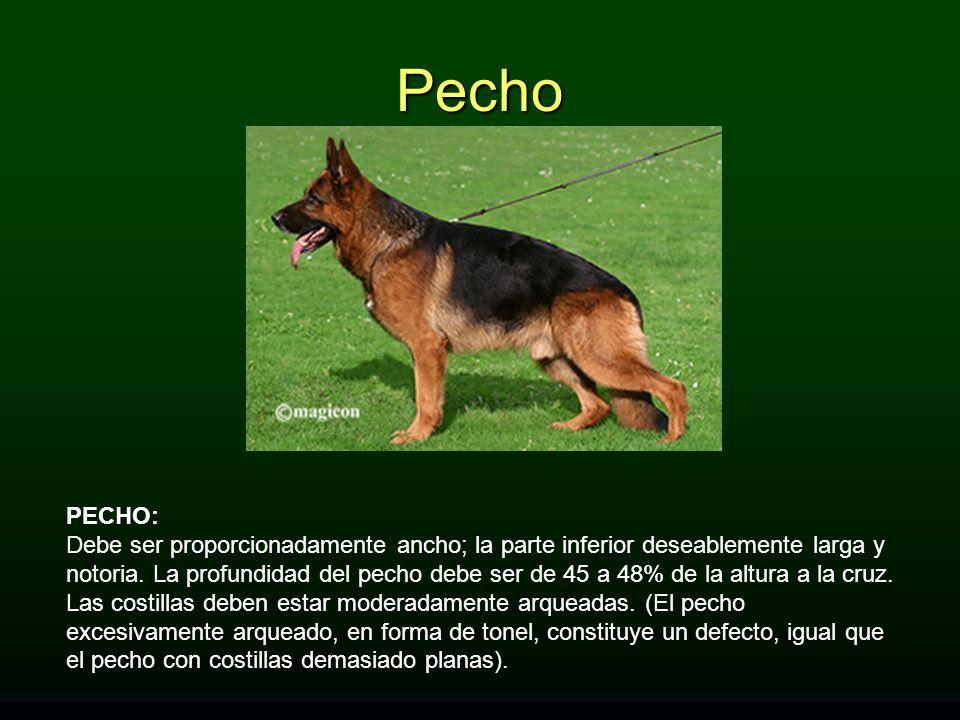 PECHO: Debe ser proporcionadamente ancho; la parte inferior deseablemente larga y notoria. La profundidad del pecho debe ser de 45 a 48% de la altura