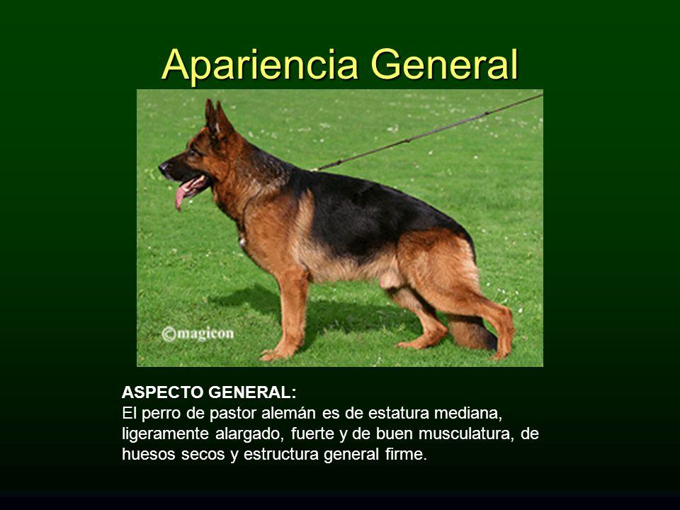 ASPECTO GENERAL: El perro de pastor alemán es de estatura mediana, ligeramente alargado, fuerte y de buen musculatura, de huesos secos y estructura general firme.