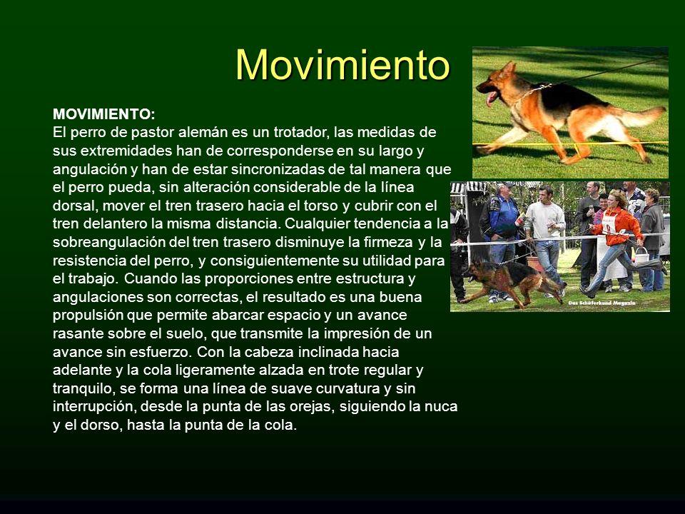 MOVIMIENTO: El perro de pastor alemán es un trotador, las medidas de sus extremidades han de corresponderse en su largo y angulación y han de estar si