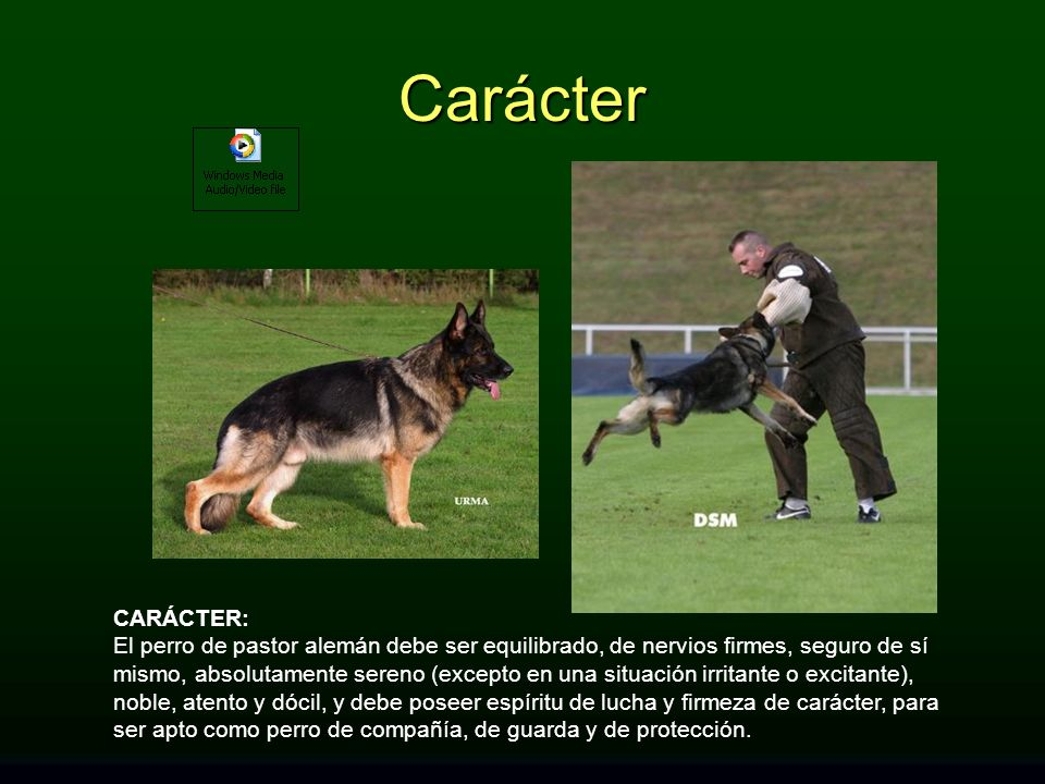 CARÁCTER: El perro de pastor alemán debe ser equilibrado, de nervios firmes, seguro de sí mismo, absolutamente sereno (excepto en una situación irrita