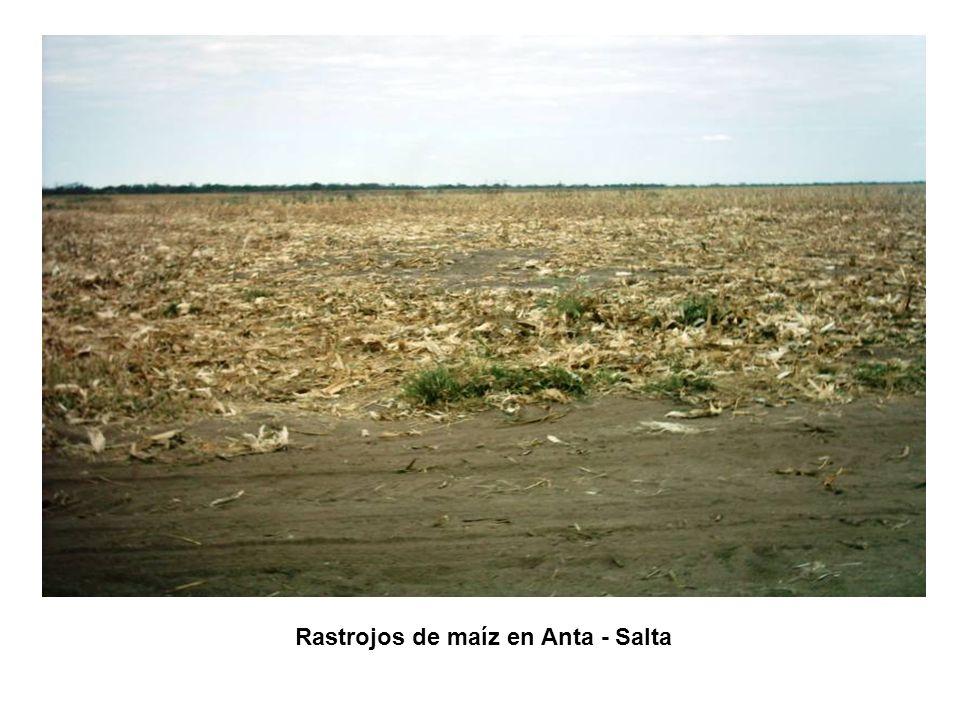 Rastrojos de maíz en Anta - Salta