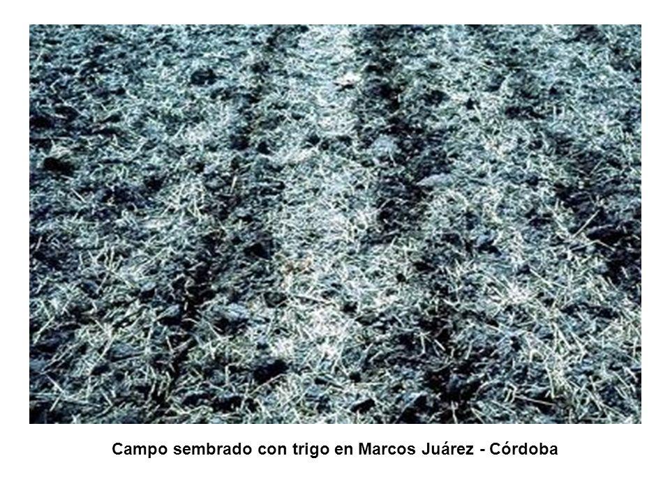Campo sembrado con trigo en Marcos Juárez - Córdoba