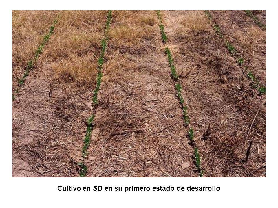 Cultivo en SD en su primero estado de desarrollo
