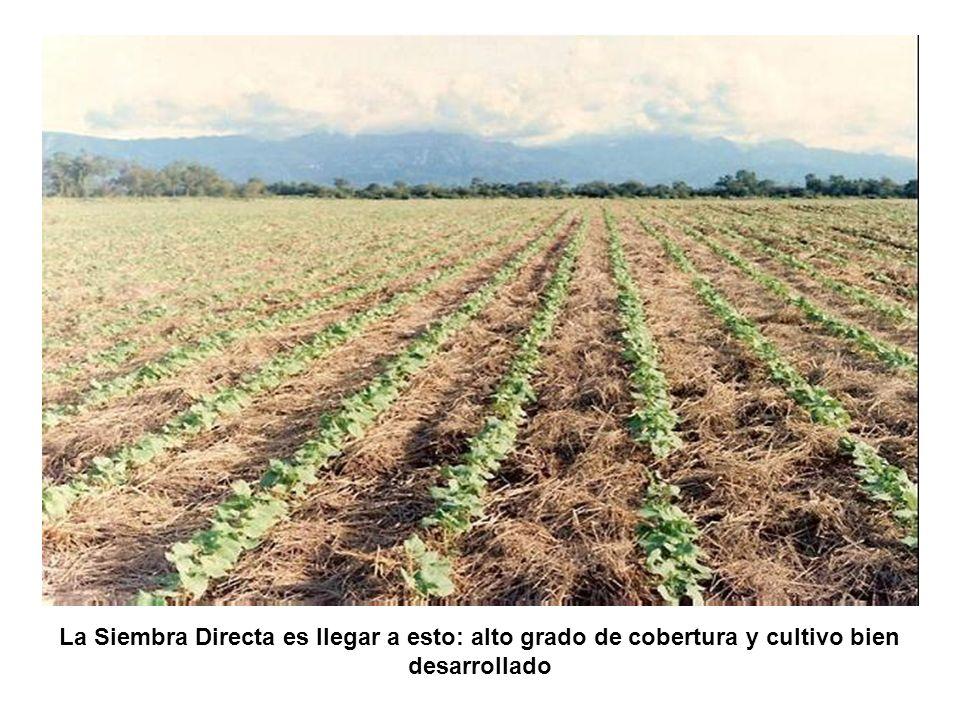 La Siembra Directa es llegar a esto: alto grado de cobertura y cultivo bien desarrollado