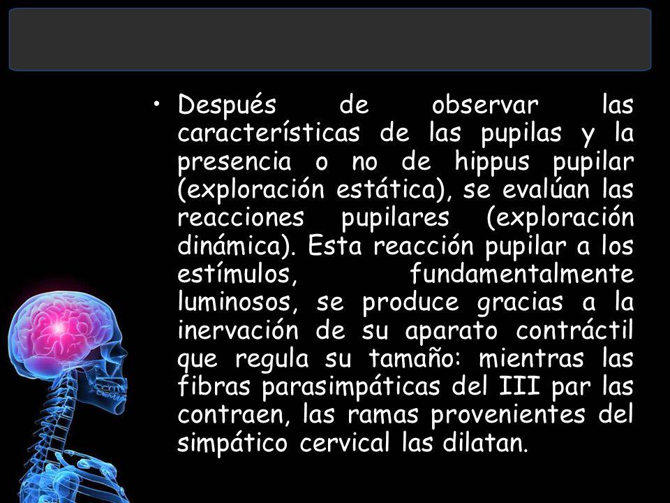 Después de observar las características de las pupilas y la presencia o no de hippus pupilar (exploración estática), se evalúan las reacciones pupilar