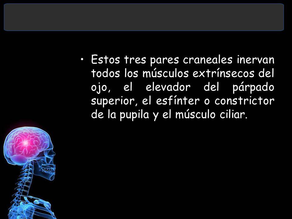 Estos tres pares craneales inervan todos los músculos extrínsecos del ojo, el elevador del párpado superior, el esfínter o constrictor de la pupila y