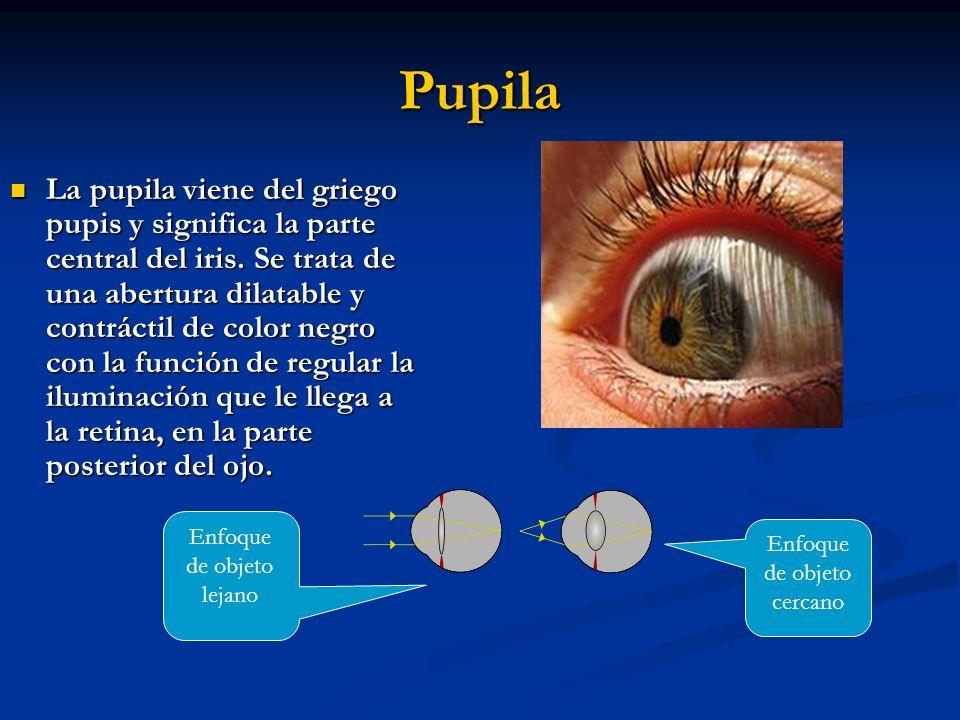 Pupila La pupila viene del griego pupis y significa la parte central del iris.