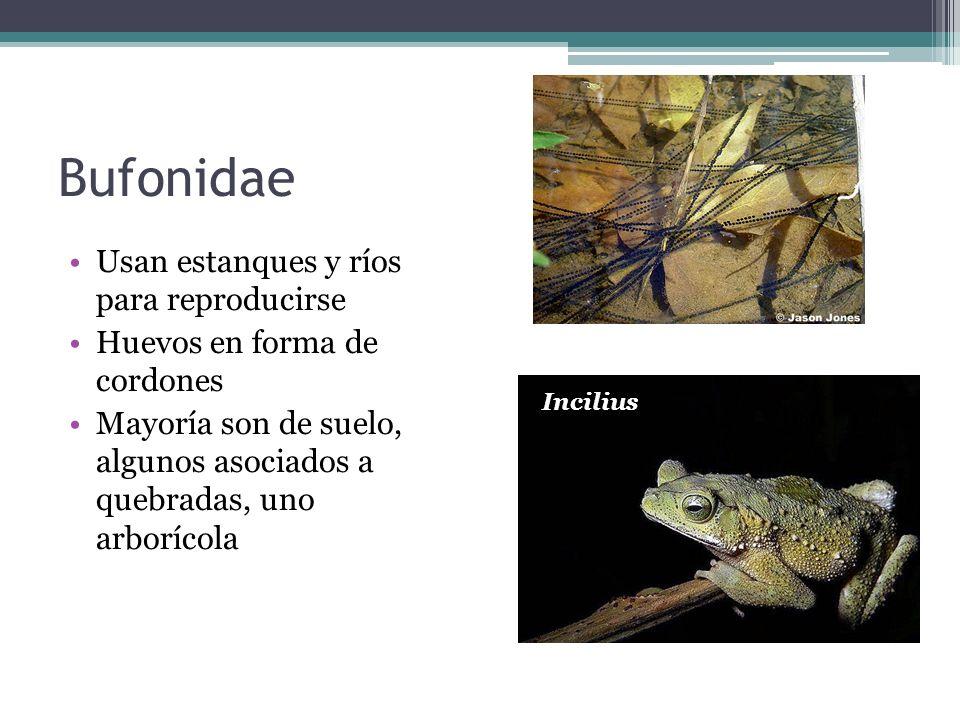 Bufonidae Usan estanques y ríos para reproducirse Huevos en forma de cordones Mayoría son de suelo, algunos asociados a quebradas, uno arborícola Inci