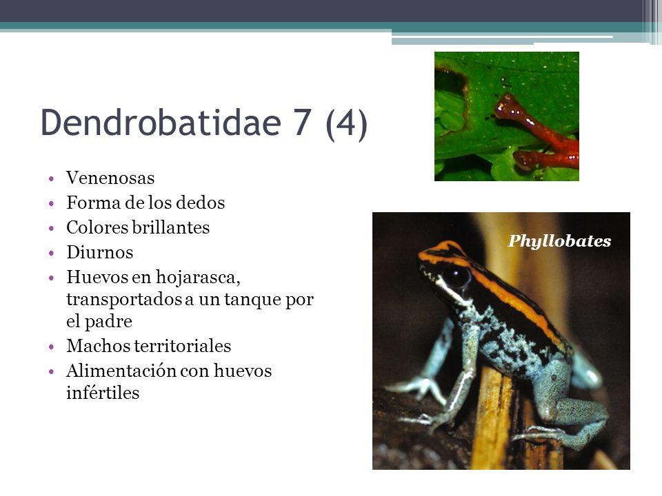 Dendrobatidae 7 (4) Venenosas Forma de los dedos Colores brillantes Diurnos Huevos en hojarasca, transportados a un tanque por el padre Machos territo