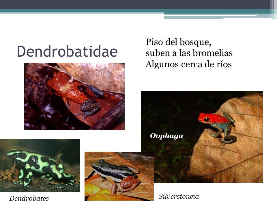 Dendrobatidae Piso del bosque, suben a las bromelias Algunos cerca de ríos Oophaga Silverstoneia Dendrobates