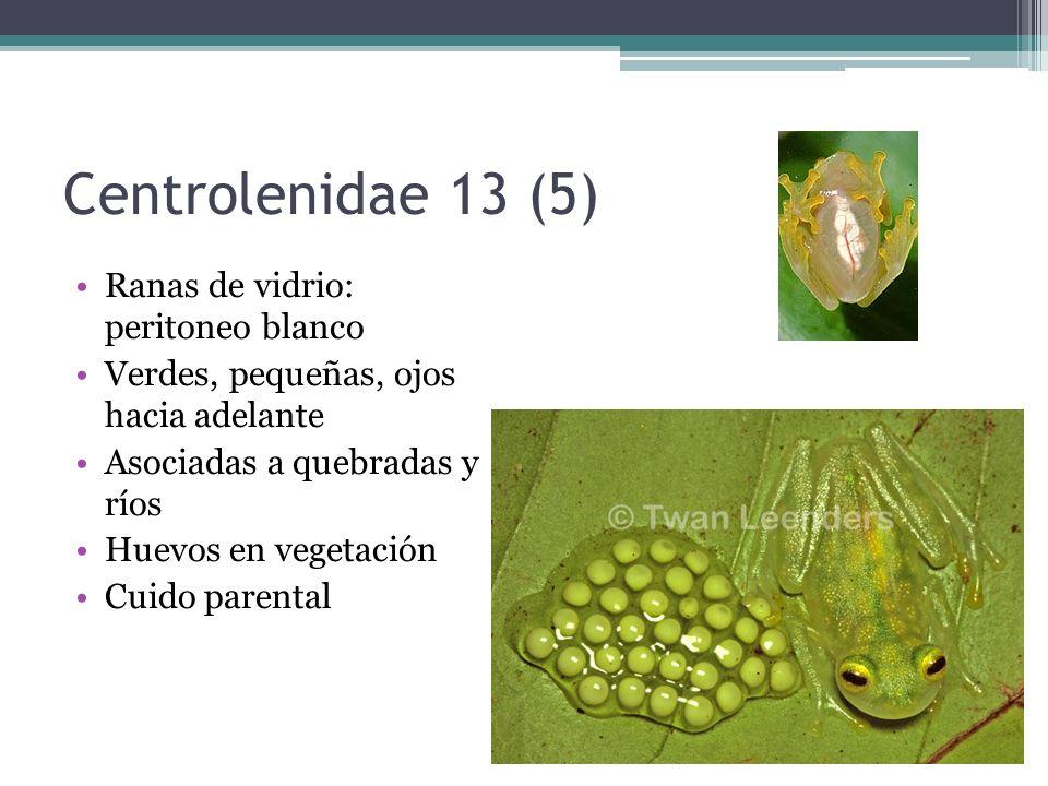 Centrolenidae 13 (5) Ranas de vidrio: peritoneo blanco Verdes, pequeñas, ojos hacia adelante Asociadas a quebradas y ríos Huevos en vegetación Cuido p