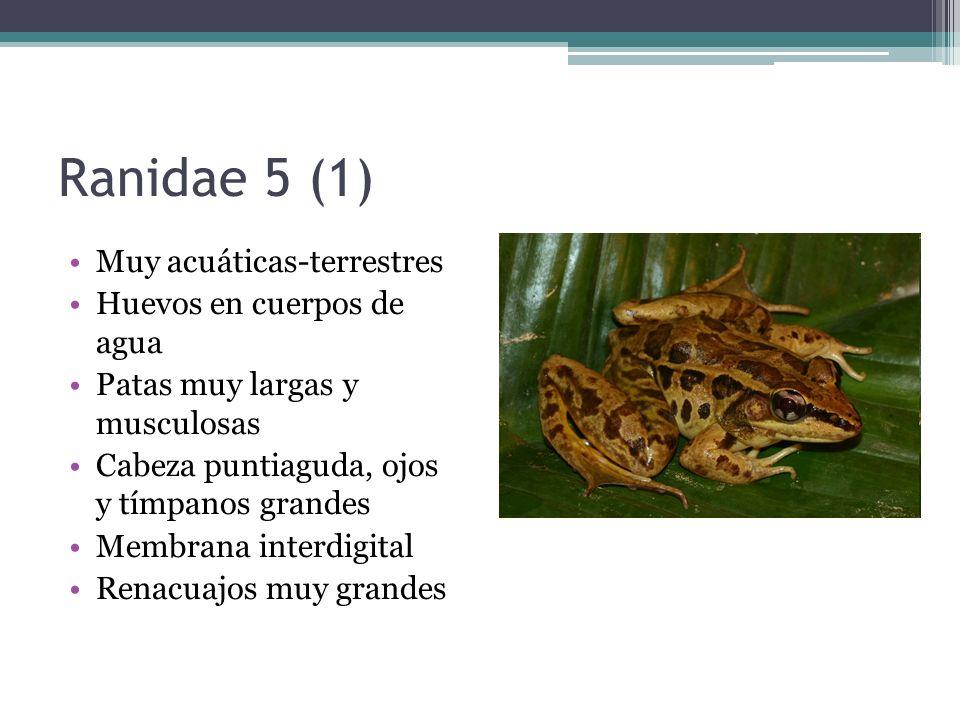 Ranidae 5 (1) Muy acuáticas-terrestres Huevos en cuerpos de agua Patas muy largas y musculosas Cabeza puntiaguda, ojos y tímpanos grandes Membrana int