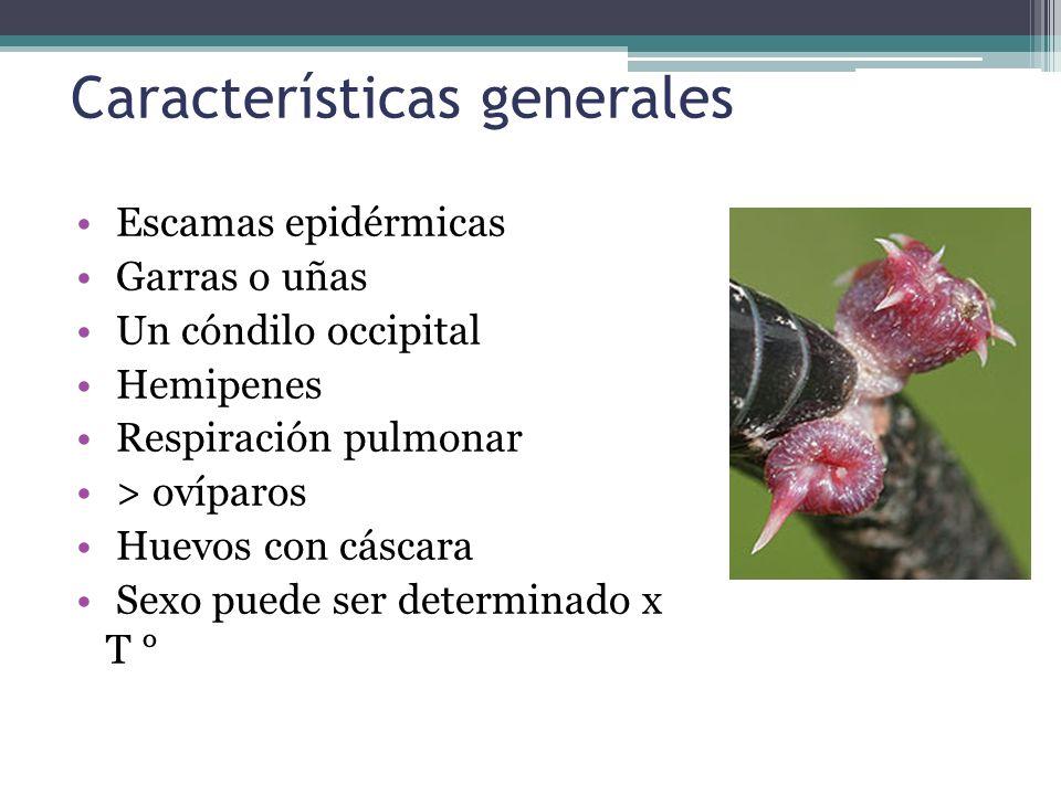 Características generales Escamas epidérmicas Garras o uñas Un cóndilo occipital Hemipenes Respiración pulmonar > ovíparos Huevos con cáscara Sexo pue