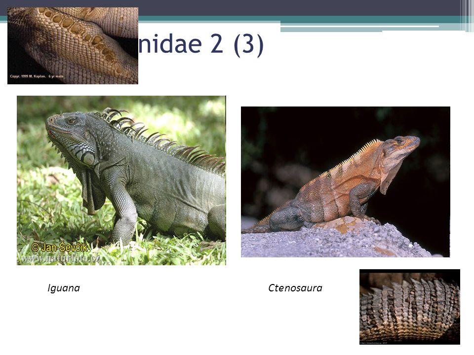 Fam Iguanidae 2 (3) IguanaCtenosaura