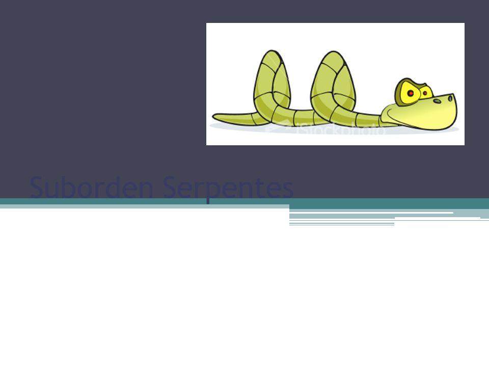 Suborden Serpentes