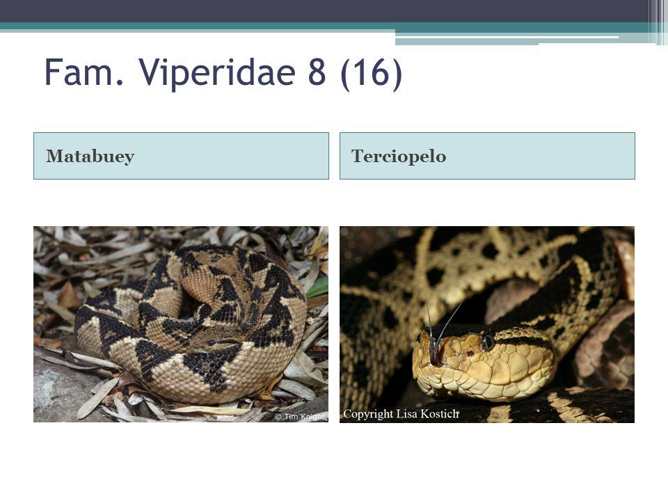 Fam. Viperidae 8 (16) MatabueyTerciopelo