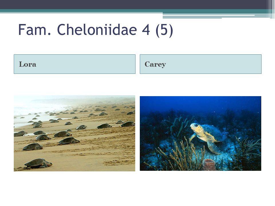 Fam. Cheloniidae 4 (5) LoraCarey
