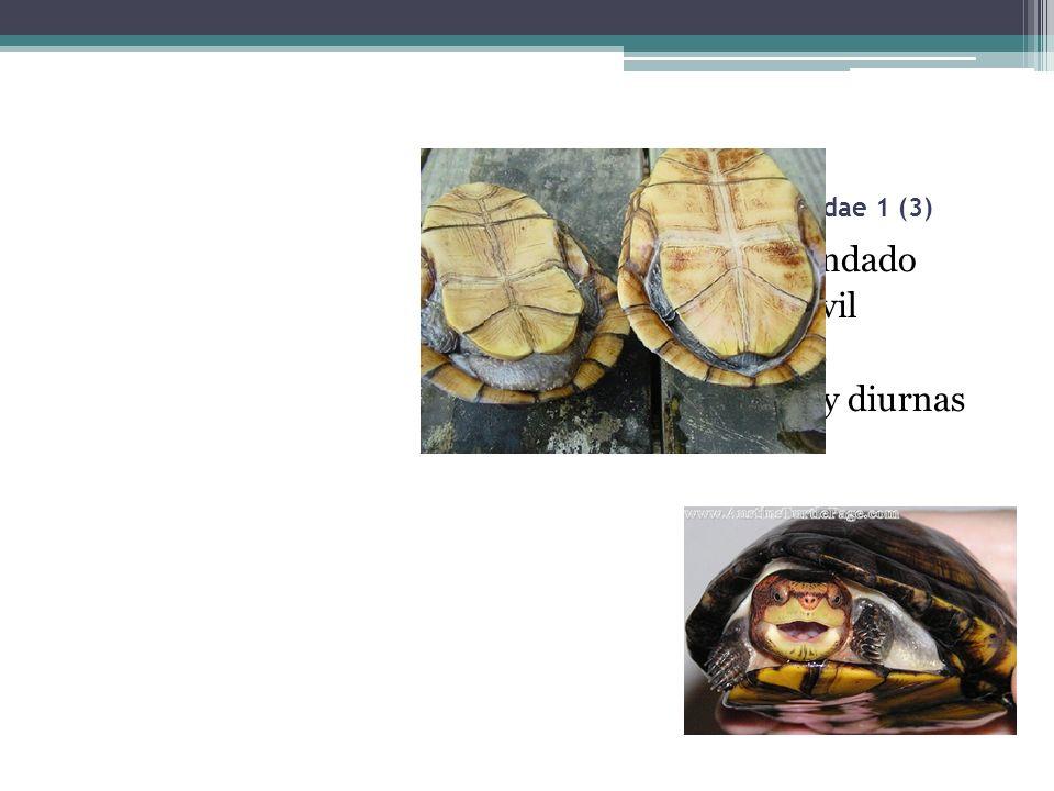 Fam. Kinosternidae 1 (3) Tortuga candado Platrón móvil Hervíboras Terrestres y diurnas