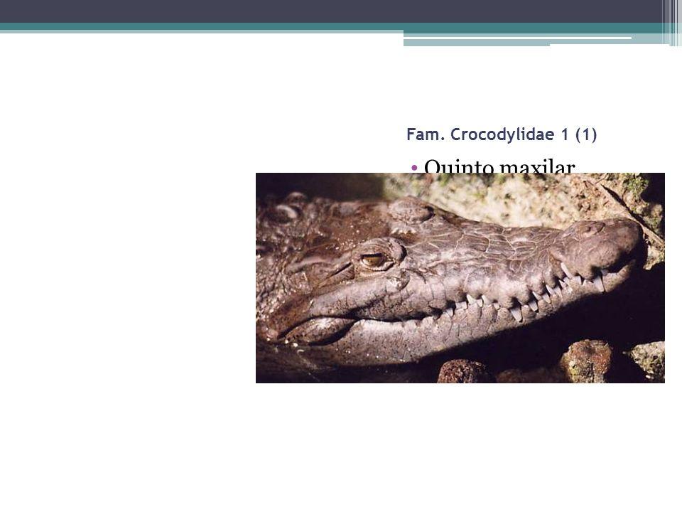 Fam. Crocodylidae 1 (1) Quinto maxilar máslargo Cuarto mandibular sobresale