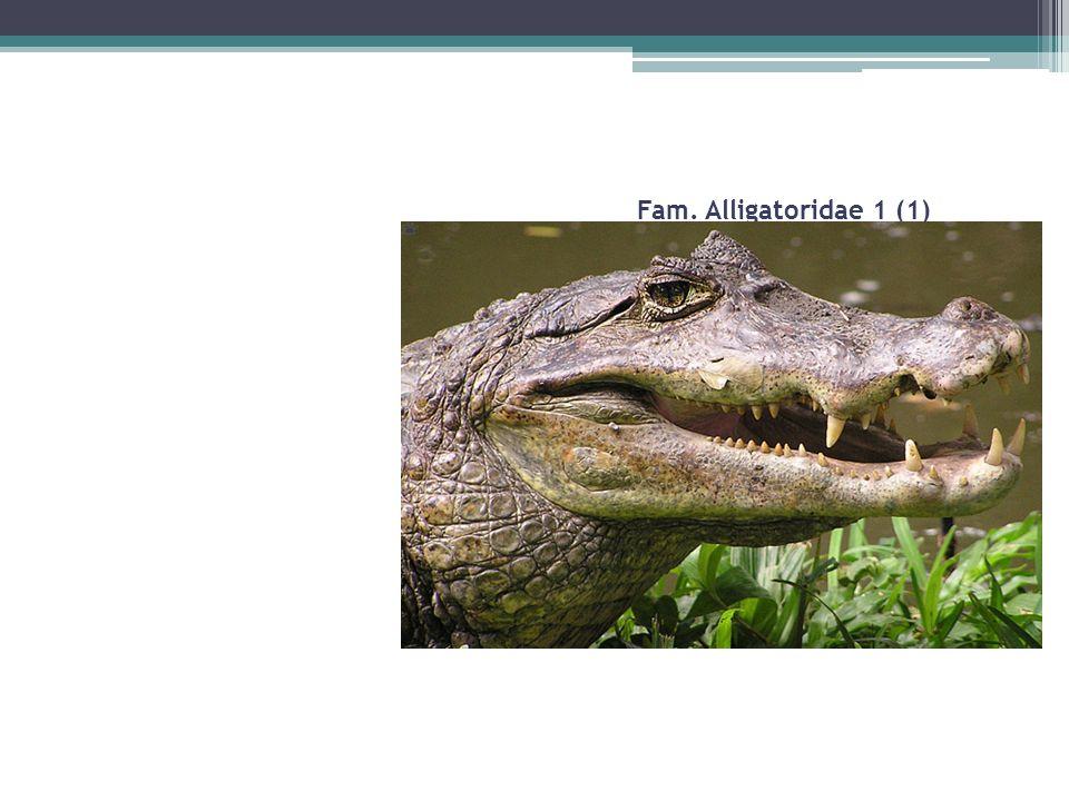 Fam. Alligatoridae 1 (1) Pliegue elevado entre los ojos Nocturno Carnívoro y carroñero