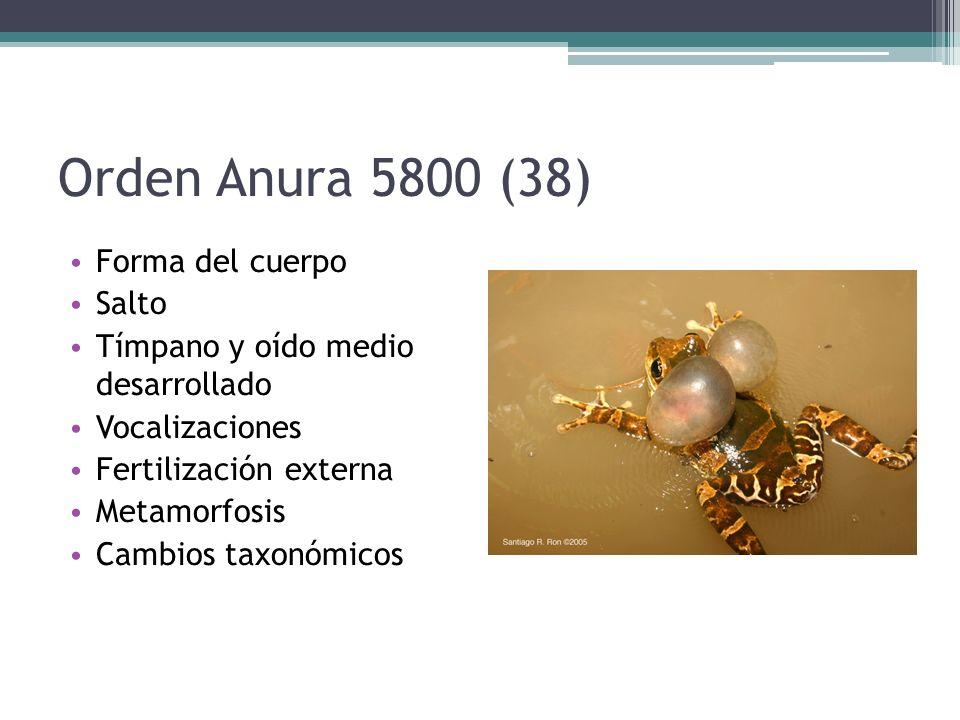 Orden Anura 5800 (38) Forma del cuerpo Salto Tímpano y oído medio desarrollado Vocalizaciones Fertilización externa Metamorfosis Cambios taxonómicos
