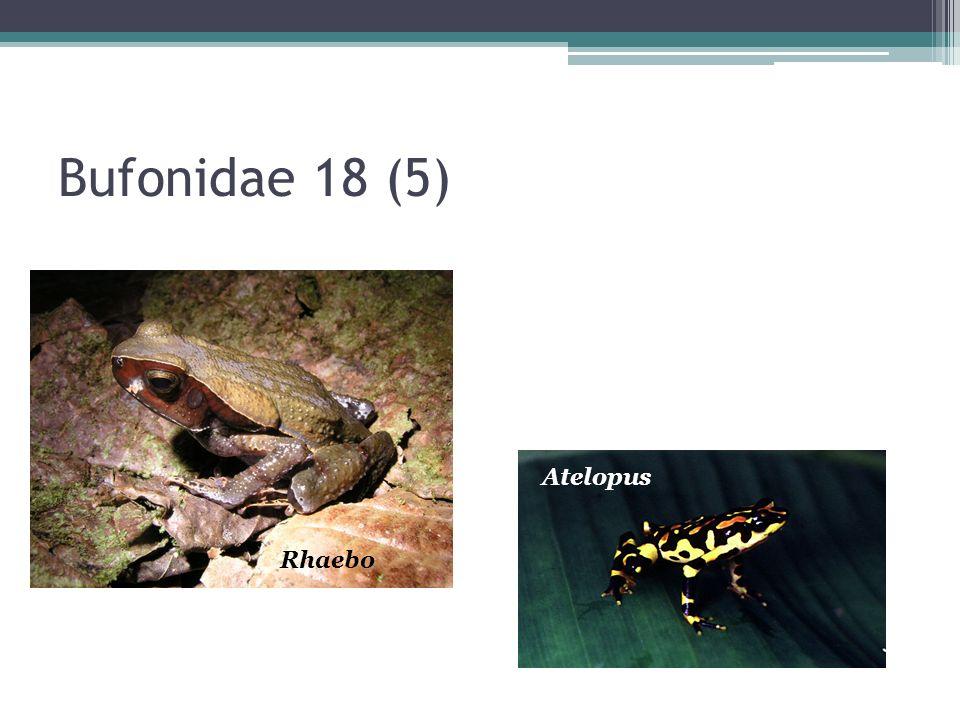 Bufonidae Usan estanques y ríos para reproducirse Huevos en forma de cordones Mayoría son de suelo, algunos asociados a quebradas, uno arborícola Incilius