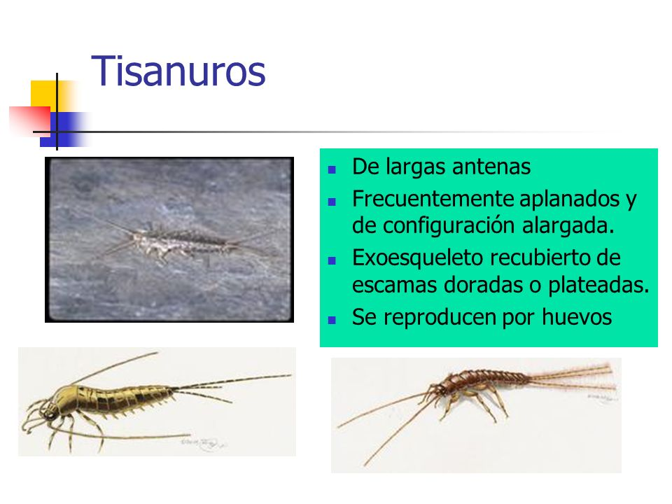 Tisanuros De largas antenas Frecuentemente aplanados y de configuración alargada. Exoesqueleto recubierto de escamas doradas o plateadas. Se reproduce