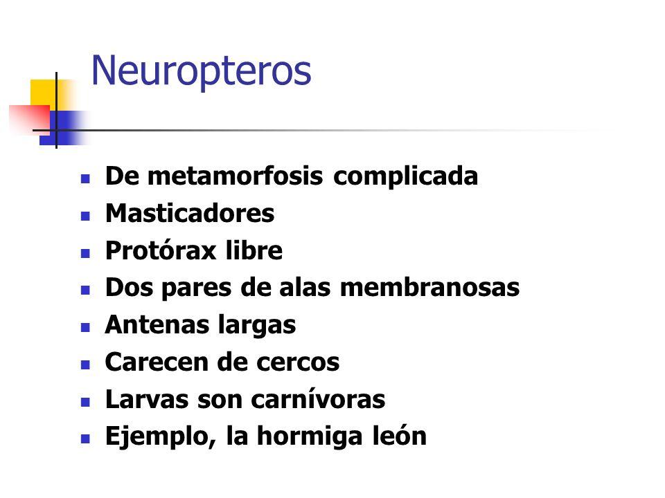 Neuropteros De metamorfosis complicada Masticadores Protórax libre Dos pares de alas membranosas Antenas largas Carecen de cercos Larvas son carnívora