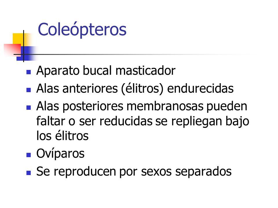 Coleópteros Aparato bucal masticador Alas anteriores (élitros) endurecidas Alas posteriores membranosas pueden faltar o ser reducidas se repliegan baj