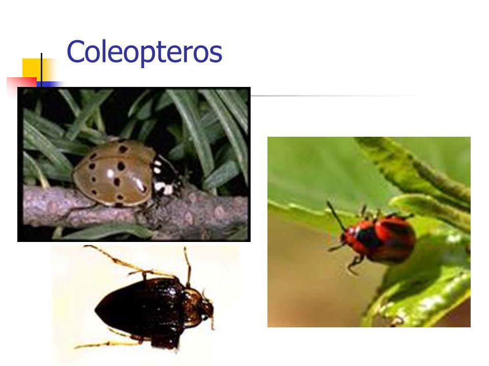 Coleopteros