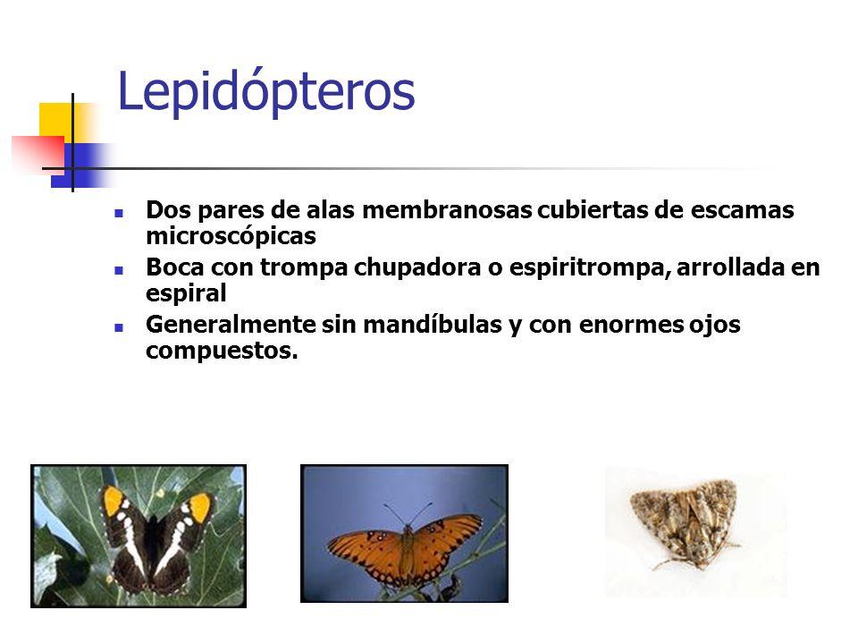 Lepidópteros Dos pares de alas membranosas cubiertas de escamas microscópicas Boca con trompa chupadora o espiritrompa, arrollada en espiral Generalme