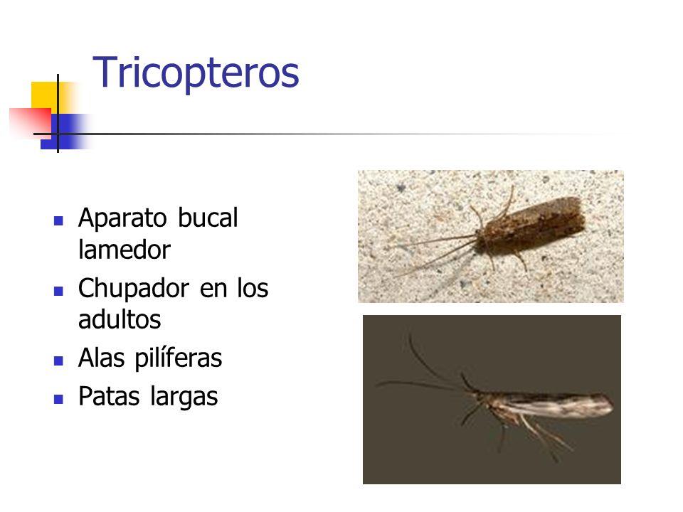 Tricopteros Aparato bucal lamedor Chupador en los adultos Alas pilíferas Patas largas
