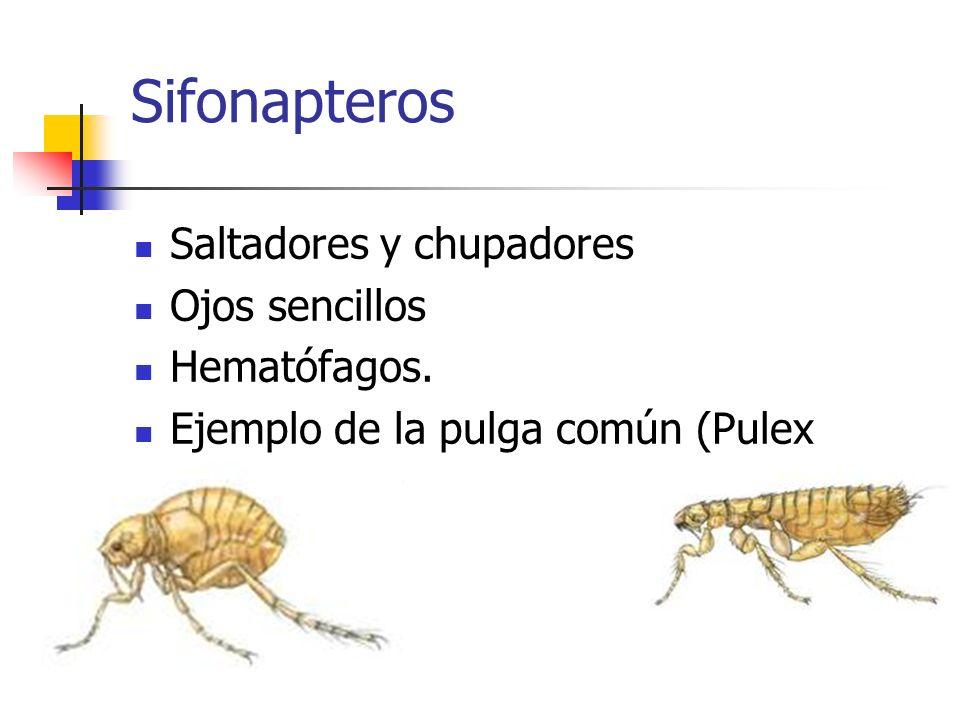 Sifonapteros Saltadores y chupadores Ojos sencillos Hematófagos. Ejemplo de la pulga común (Pulex irritans).