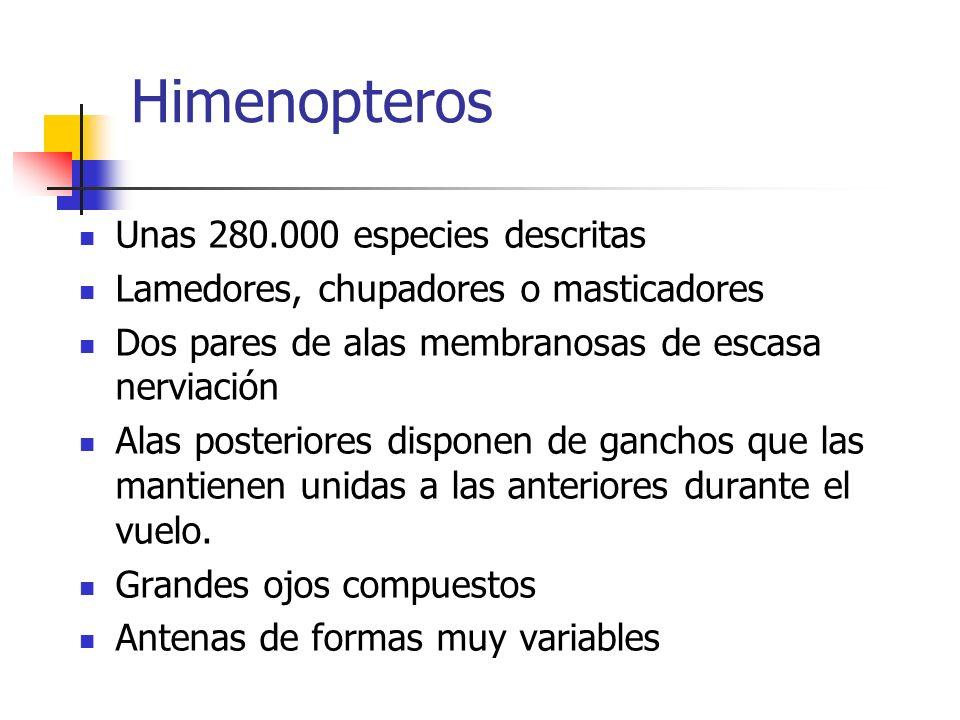 Himenopteros Unas 280.000 especies descritas Lamedores, chupadores o masticadores Dos pares de alas membranosas de escasa nerviación Alas posteriores