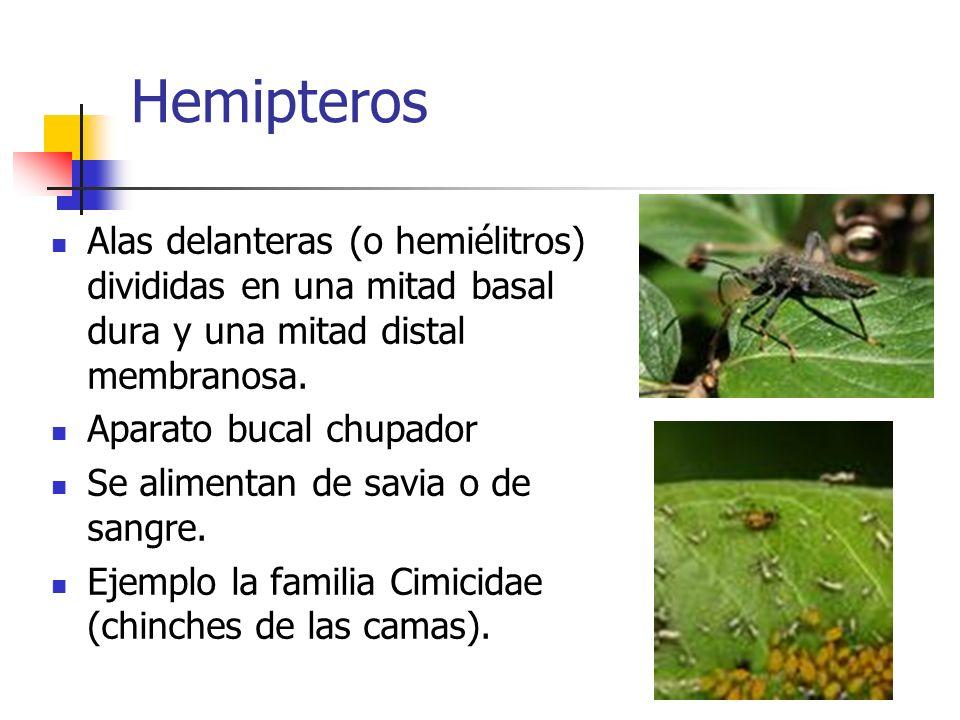 Hemipteros Alas delanteras (o hemiélitros) divididas en una mitad basal dura y una mitad distal membranosa. Aparato bucal chupador Se alimentan de sav