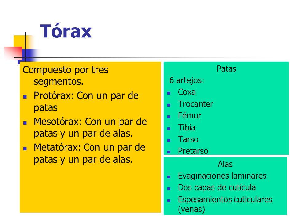 Tórax Compuesto por tres segmentos. Protórax: Con un par de patas Mesotórax: Con un par de patas y un par de alas. Metatórax: Con un par de patas y un