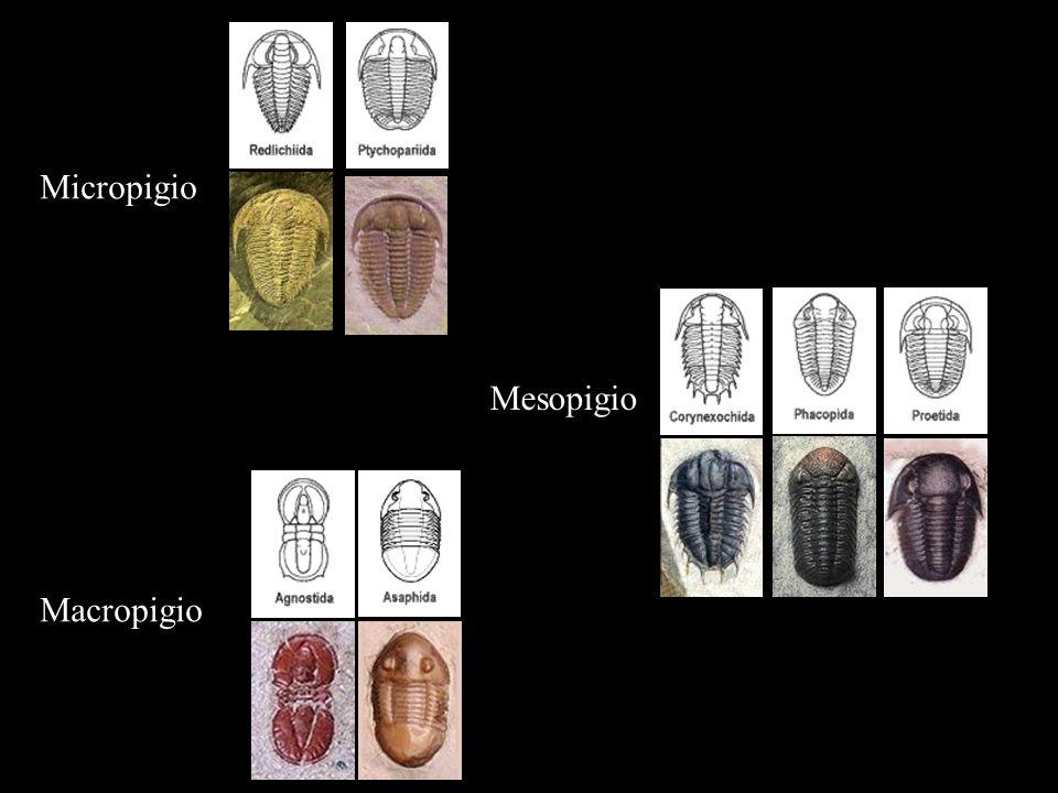 Micropigio Macropigio Mesopigio
